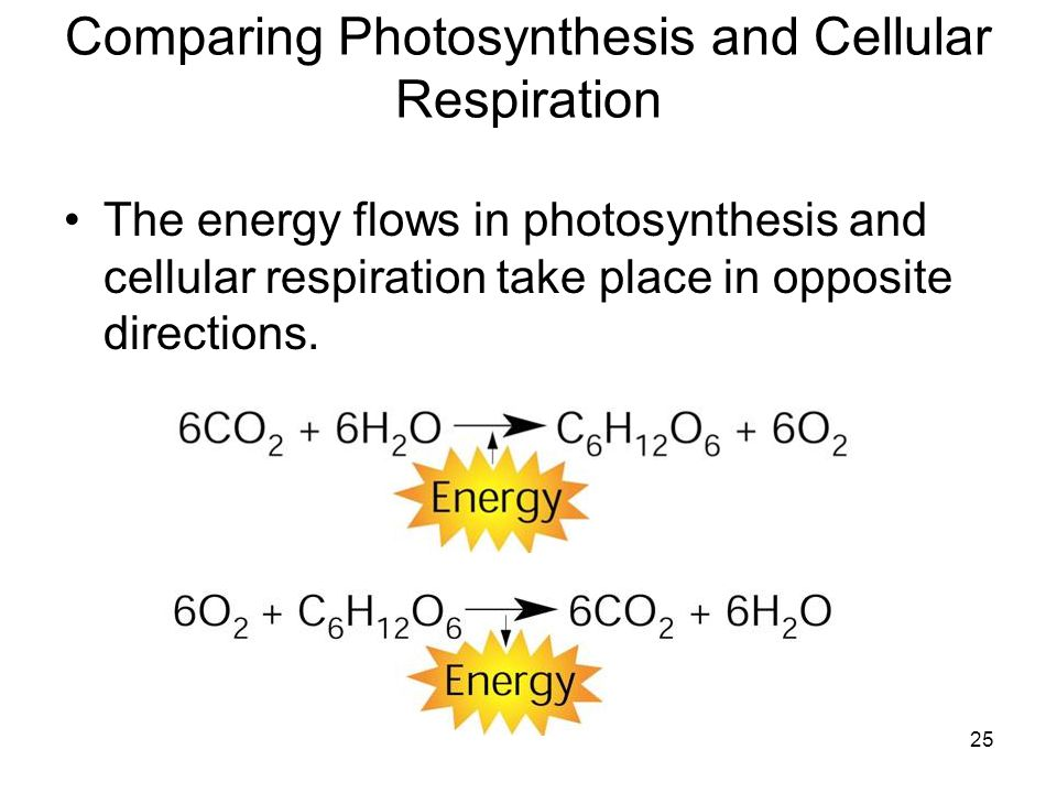 25 Comparing Photosynthesis and Cellular Respiration The energy flows in photosynthesis and cellular respiration take place in opposite directions.