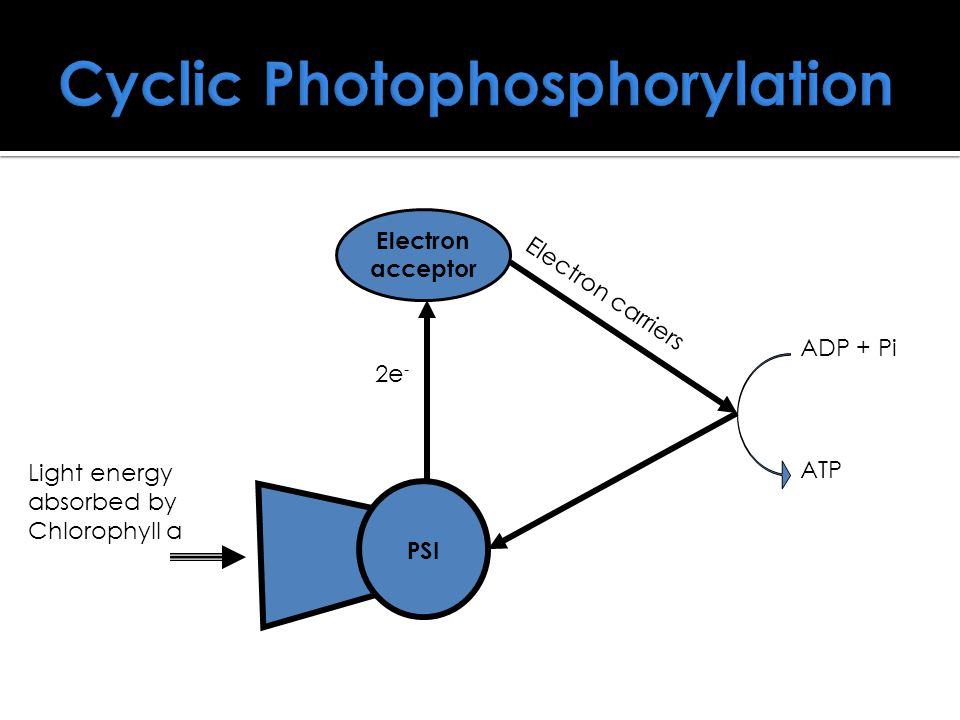 Cyclic Photophosphorylation PSI Light energy absorbed by Chlorophyll a Electron acceptor ADP + Pi ATP 2e - Electron carriers