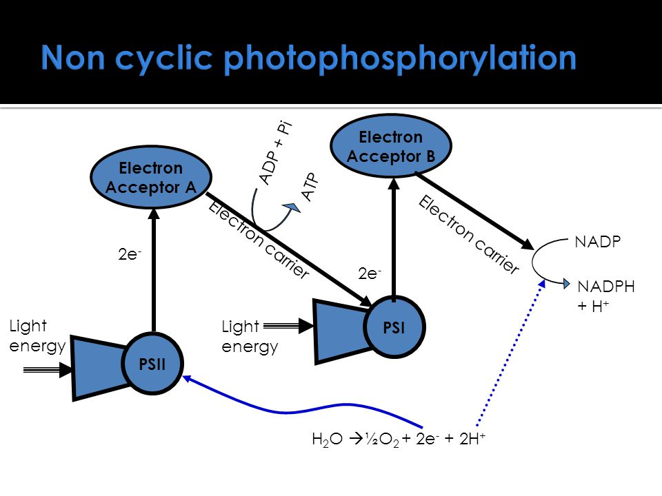 Non cyclic photophosphorylation PSIIPSI Electron Acceptor A 2e - Electron Acceptor B 2e - Light energy ADP + Pi ATP NADP NADPH + H + H 2 O  ½O 2 + 2e - + 2H + Electron carrier