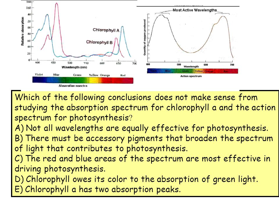 Which of the following conclusions does not make sense from studying the absorption spectrum for chlorophyll a and the action spectrum for photosynthe