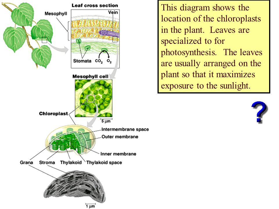 This diagram shows the location of the chloroplasts in the plant. Leaves are specialized to for photosynthesis. The leaves are usually arranged on the