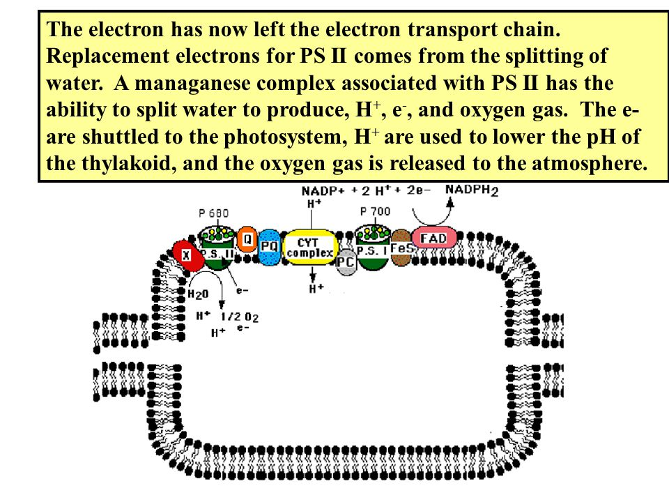 The electron has now left the electron transport chain. Replacement electrons for PS II comes from the splitting of water. A managanese complex associ