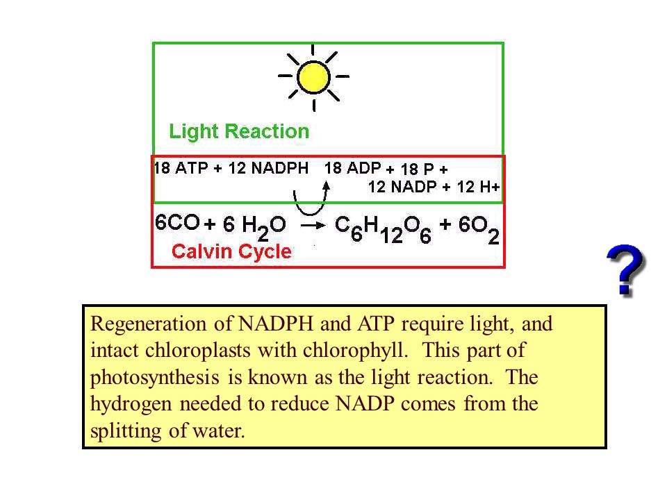 Regeneration of NADPH and ATP require light, and intact chloroplasts with chlorophyll. This part of photosynthesis is known as the light reaction. The
