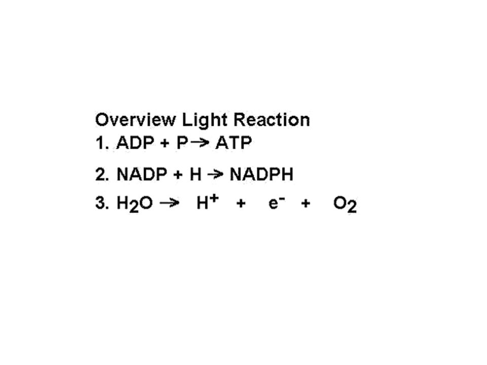 E Noncyclic photophosphorylation has two photosystems and cyclic photophosphorylation only has one photosystem as shown above.