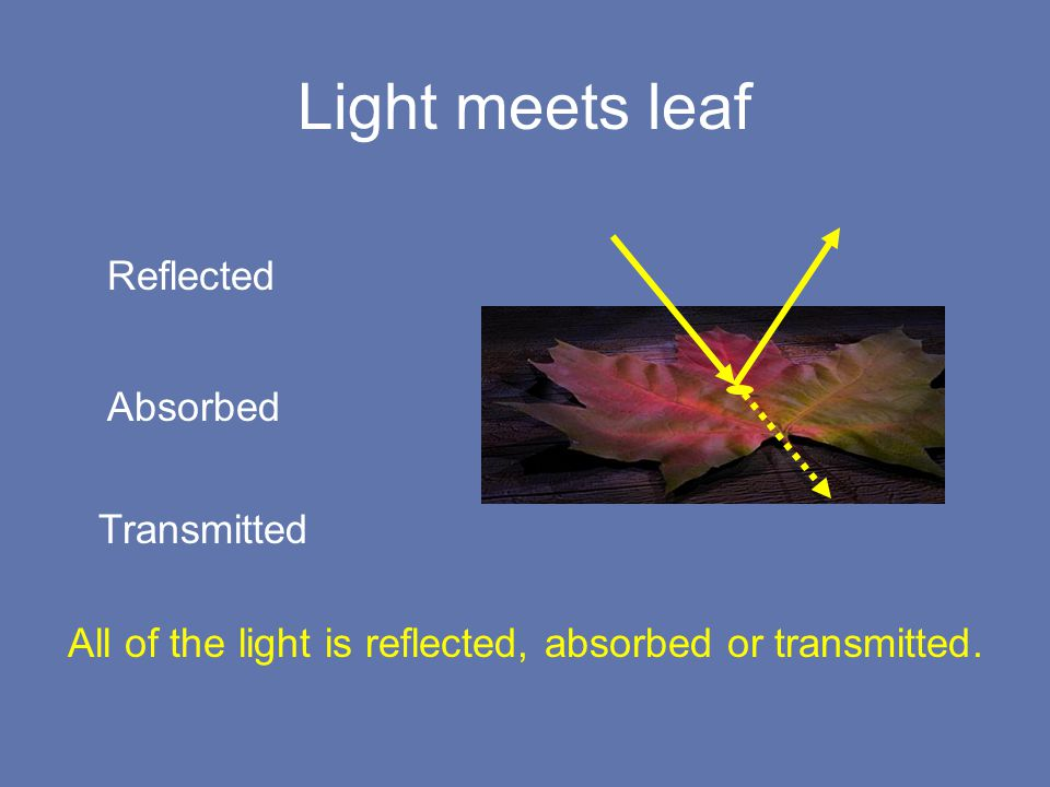Light meets leaf Reflected Absorbed Transmitted All of the light is reflected, absorbed or transmitted.