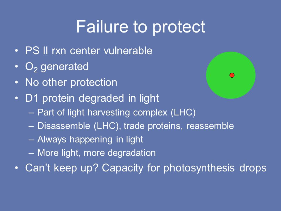 Failure to protect PS II rxn center vulnerable O 2 generated No other protection D1 protein degraded in light –Part of light harvesting complex (LHC) –Disassemble (LHC), trade proteins, reassemble –Always happening in light –More light, more degradation Can't keep up.