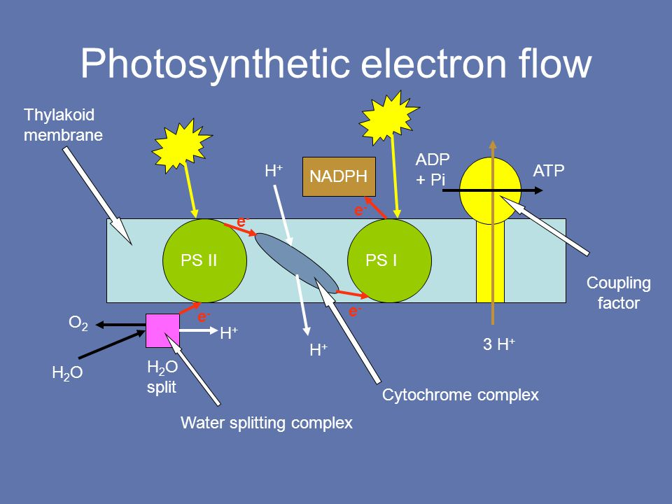 Photosynthetic electron flow ADP + Pi ATP H+H+ H+H+ H+H+ 3 H + NADPH PS IIPS I H 2 O split H2OH2O O2O2 Water splitting complex Cytochrome complex Thylakoid membrane Coupling factor e-e- e-e- e-e- e-e-