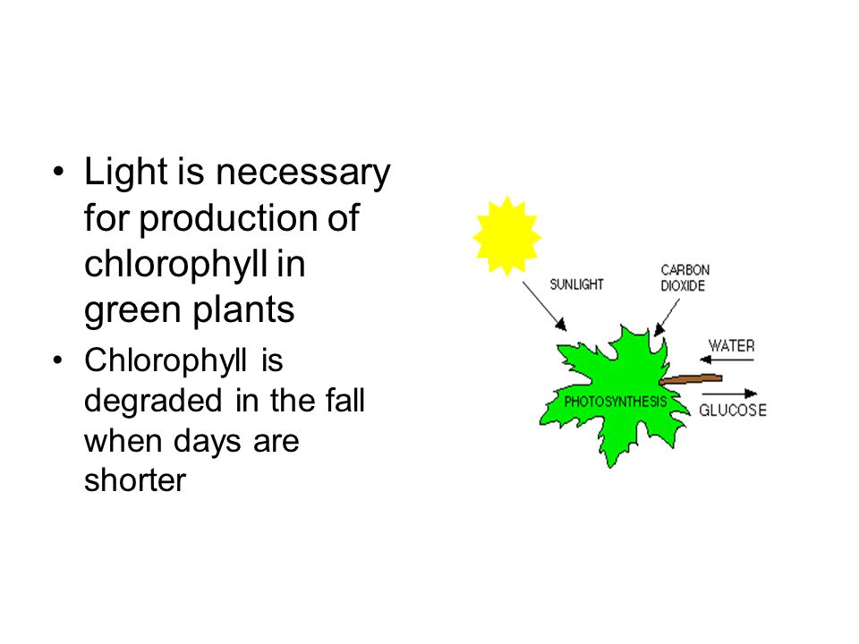 Light is necessary for production of chlorophyll in green plants Chlorophyll is degraded in the fall when days are shorter