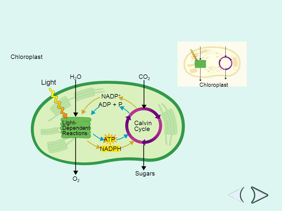 Chloroplast H2OH2O O2O2 Sugars CO 2 Light- Dependent Reactions Calvin Cycle NADPH ATP ADP + P NADP + Chloroplast Section 8-3 Figure 8-7 Photosynthesis