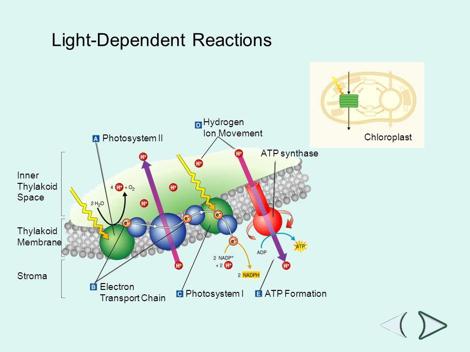 Go to Section: Hydrogen Ion Movement Photosystem II Inner Thylakoid Space Thylakoid Membrane Stroma ATP synthase Electron Transport Chain Photosystem