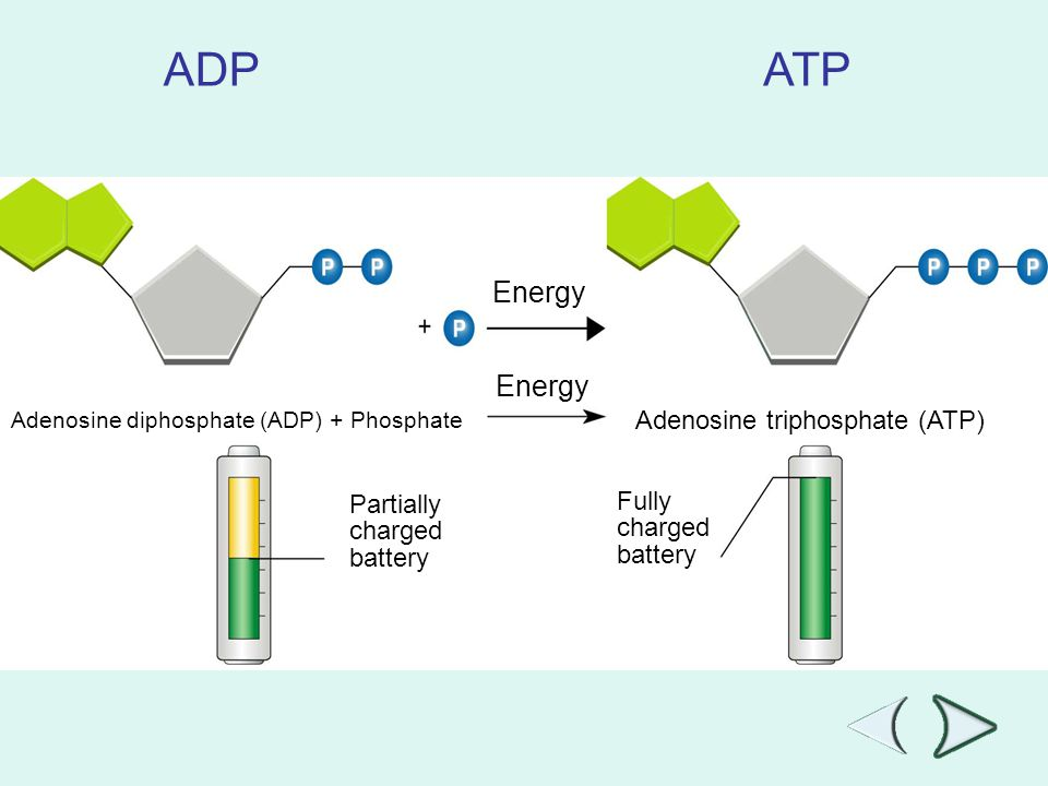 Go to Section: ADP ATP Energy Adenosine diphosphate (ADP) + Phosphate Adenosine triphosphate (ATP) Partially charged battery Fully charged battery Sec