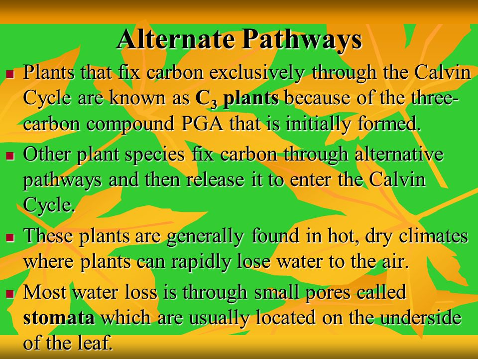 Alternate Pathways Plants that fix carbon exclusively through the Calvin Cycle are known as C 3 plants because of the three- carbon compound PGA that