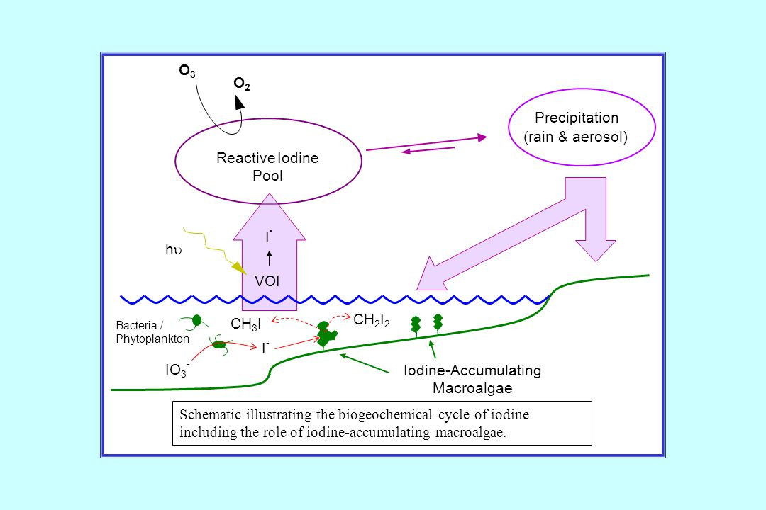 Schematic illustrating the biogeochemical cycle of iodine including the role of iodine-accumulating macroalgae.