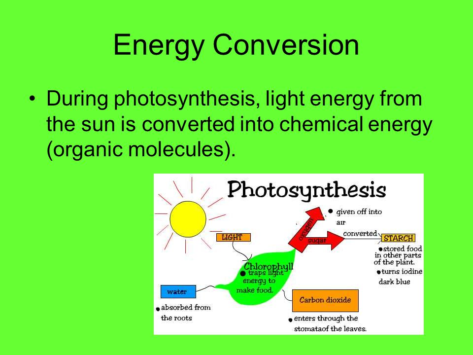 Energy Conversion During photosynthesis, light energy from the sun is converted into chemical energy (organic molecules).