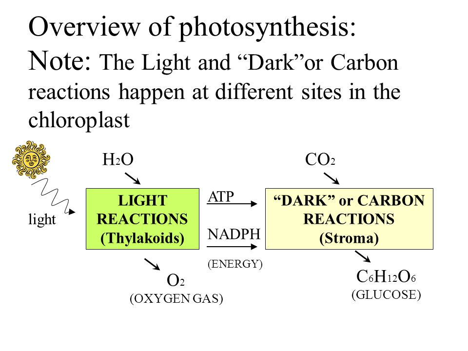 Overview of photosynthesis: Note: The Light and Dark or Carbon reactions happen at different sites in the chloroplast LIGHT REACTIONS (Thylakoids) DARK or CARBON REACTIONS (Stroma) light ATP NADPH (ENERGY) H2OH2O O 2 (OXYGEN GAS) CO 2 C 6 H 12 O 6 (GLUCOSE)