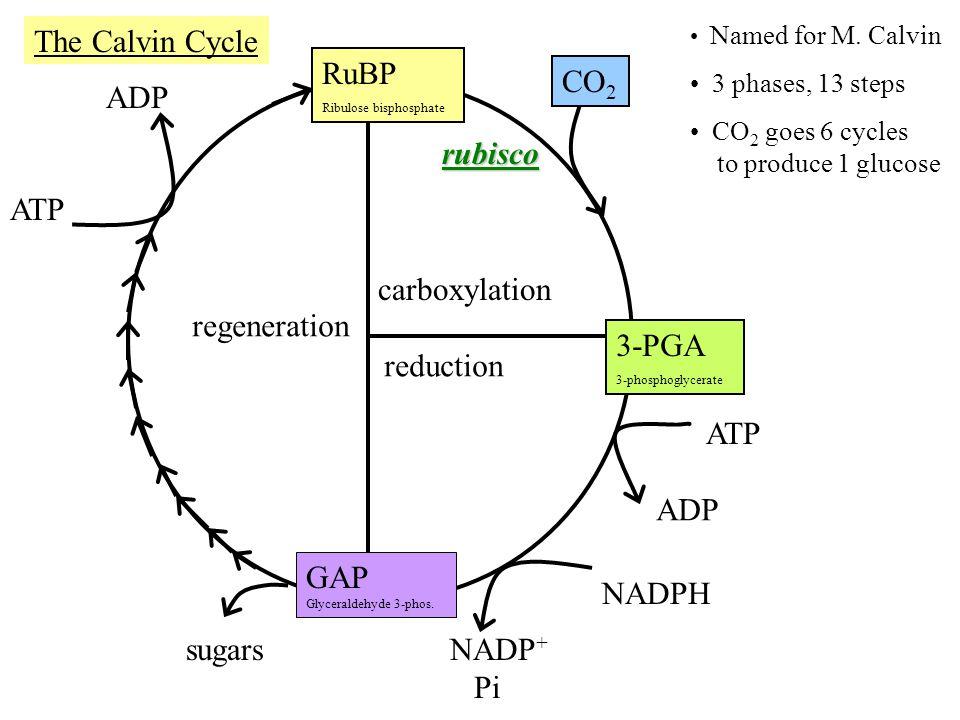 CO 2 RuBP Ribulose bisphosphate rubisco 3-PGA 3-phosphoglycerate ATP ADP NADPH NADP + Pi ATP ADP carboxylation reduction regeneration GAP Glyceraldehyde 3-phos.