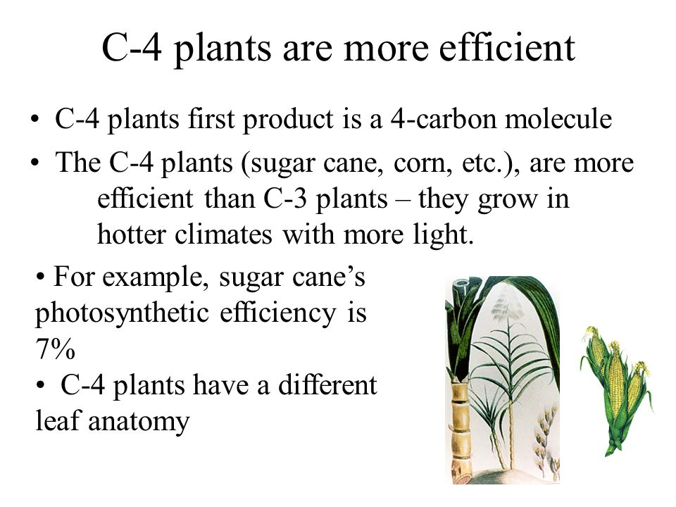 C-4 plants are more efficient C-4 plants first product is a 4-carbon molecule The C-4 plants (sugar cane, corn, etc.), are more efficient than C-3 plants – they grow in hotter climates with more light.