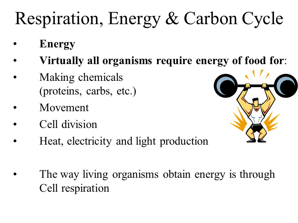 Respiration, Energy & Carbon Cycle Energy Virtually all organisms require energy of food for: Making chemicals (proteins, carbs, etc.) Movement Cell division Heat, electricity and light production The way living organisms obtain energy is through Cell respiration