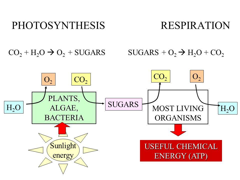 PHOTOSYNTHESIS RESPIRATION CO 2 + H 2 O  O 2 + SUGARS SUGARS + O 2  H 2 O + CO 2 PLANTS, ALGAE, BACTERIA MOST LIVING ORGANISMS H2OH2O H2OH2O O2O2 O2O2 CO 2 SUGARS Sunlight energy USEFUL CHEMICAL ENERGY (ATP)