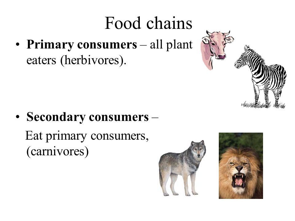 Food chains Primary consumers – all plant eaters (herbivores).