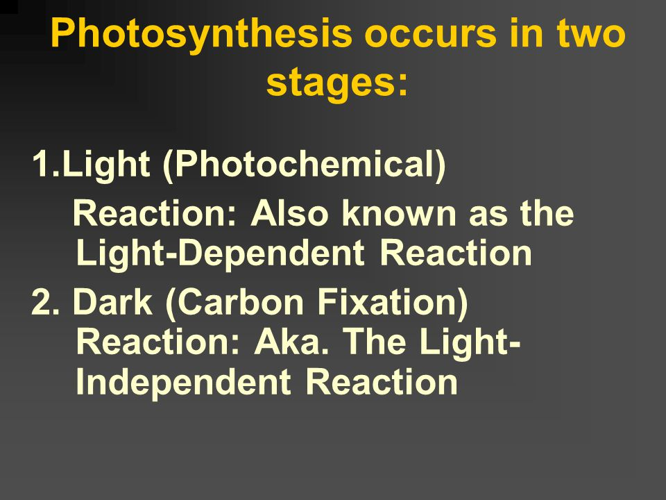 Light Absorbed by Chlorophyll The maximum amount of photosynthesis will occur when exposed to red and blue light because it is these two colors that a