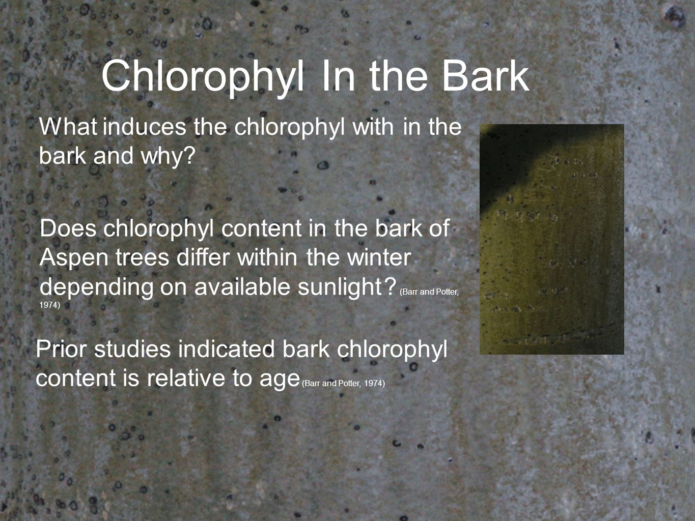 Does chlorophyl content in the bark of Aspen trees differ within the winter depending on available sunlight ? (Barr and Potter, 1974) What induces the