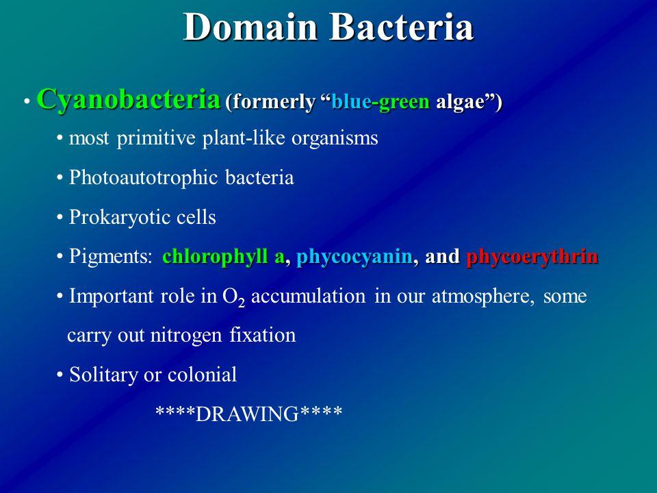 "Domain Bacteria Cyanobacteria (formerly ""blue-green algae"") most primitive plant-like organisms Photoautotrophic bacteria Prokaryotic cells chlorophyl"