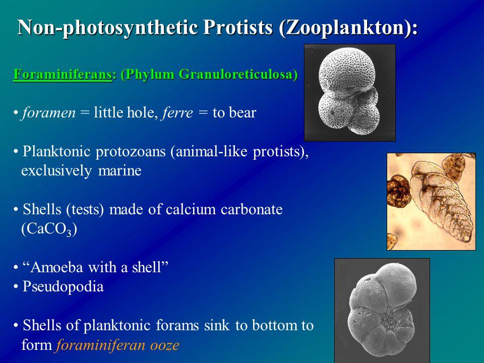 Non-photosynthetic Protists (Zooplankton): Foraminiferans: (Phylum Granuloreticulosa) foramen = little hole, ferre = to bear Planktonic protozoans (an