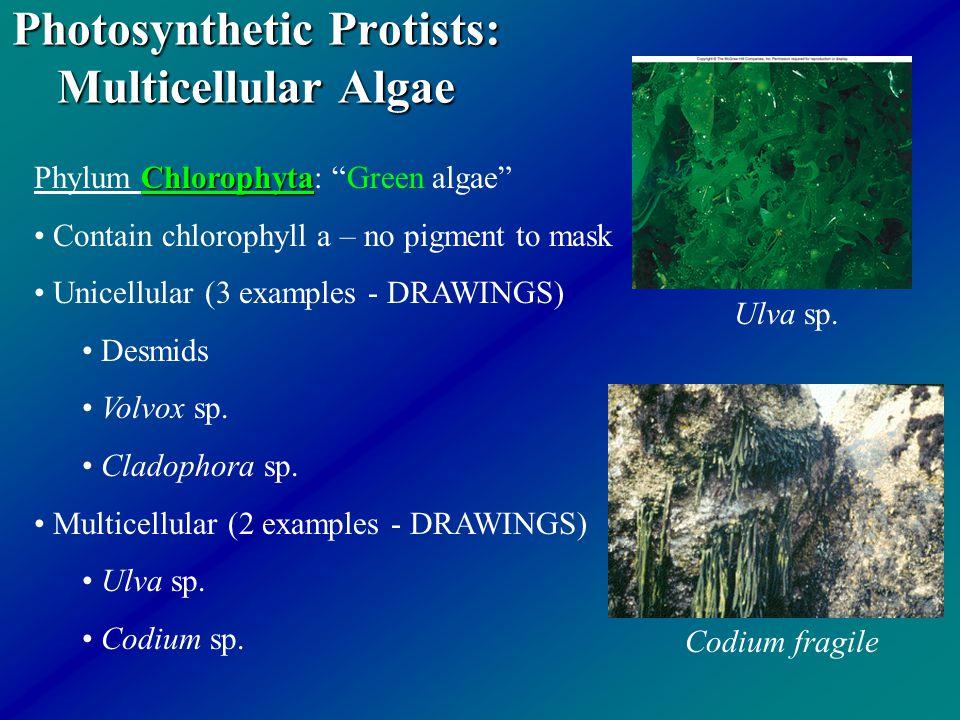 "Photosynthetic Protists: Multicellular Algae Chlorophyta Phylum Chlorophyta: ""Green algae"" Contain chlorophyll a – no pigment to mask Unicellular (3 e"