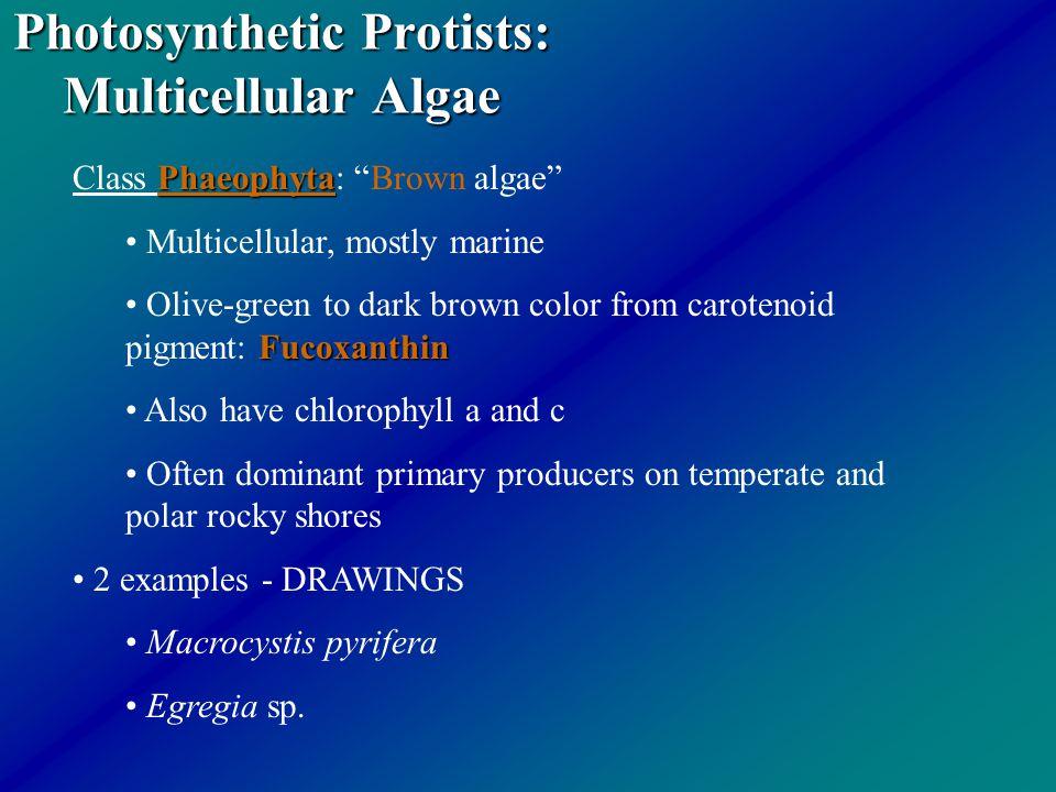 "Photosynthetic Protists: Multicellular Algae Phaeophyta Class Phaeophyta: ""Brown algae"" Multicellular, mostly marine Fucoxanthin Olive-green to dark b"