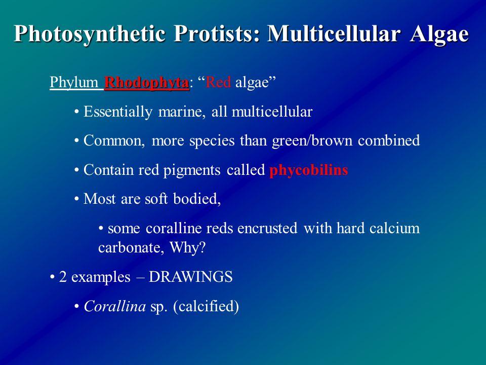 "Photosynthetic Protists: Multicellular Algae Rhodophyta Phylum Rhodophyta: ""Red algae"" Essentially marine, all multicellular Common, more species than"