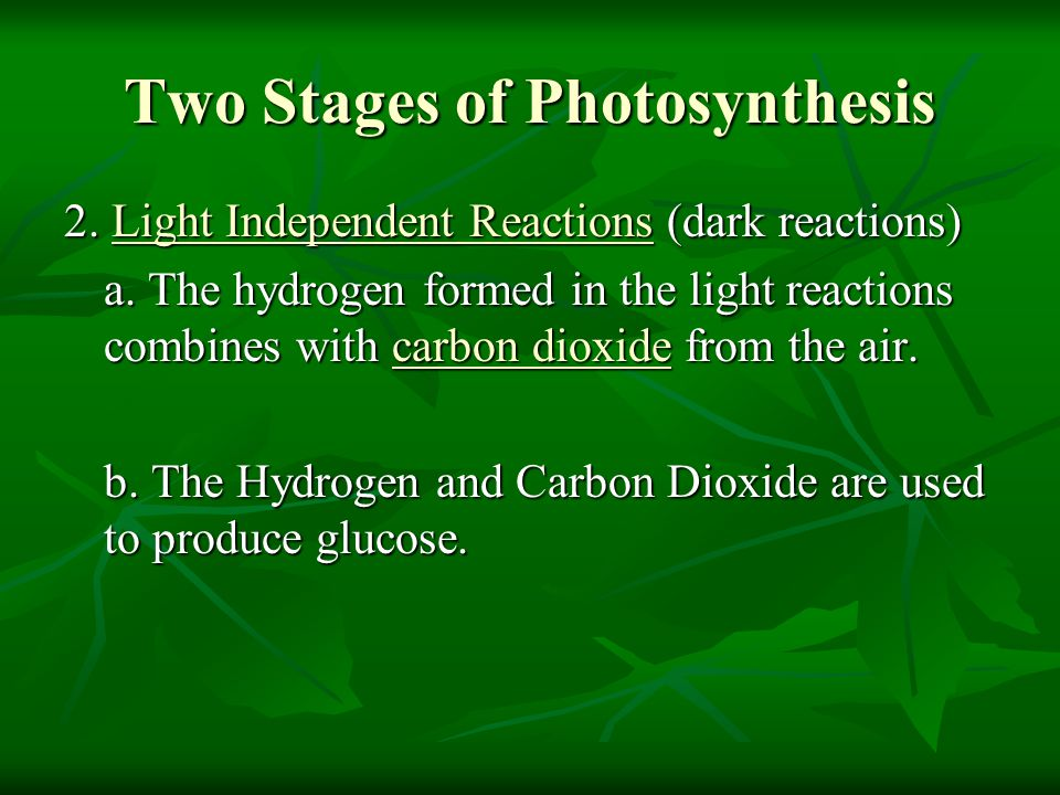 Two Stages of Photosynthesis 2. Light Independent Reactions (dark reactions) a. The hydrogen formed in the light reactions combines with carbon dioxid