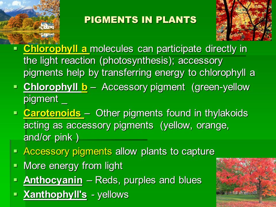 PIGMENTS IN PLANTS  Chlorophyll a molecules can participate directly in the light reaction (photosynthesis); accessory pigments help by transferring