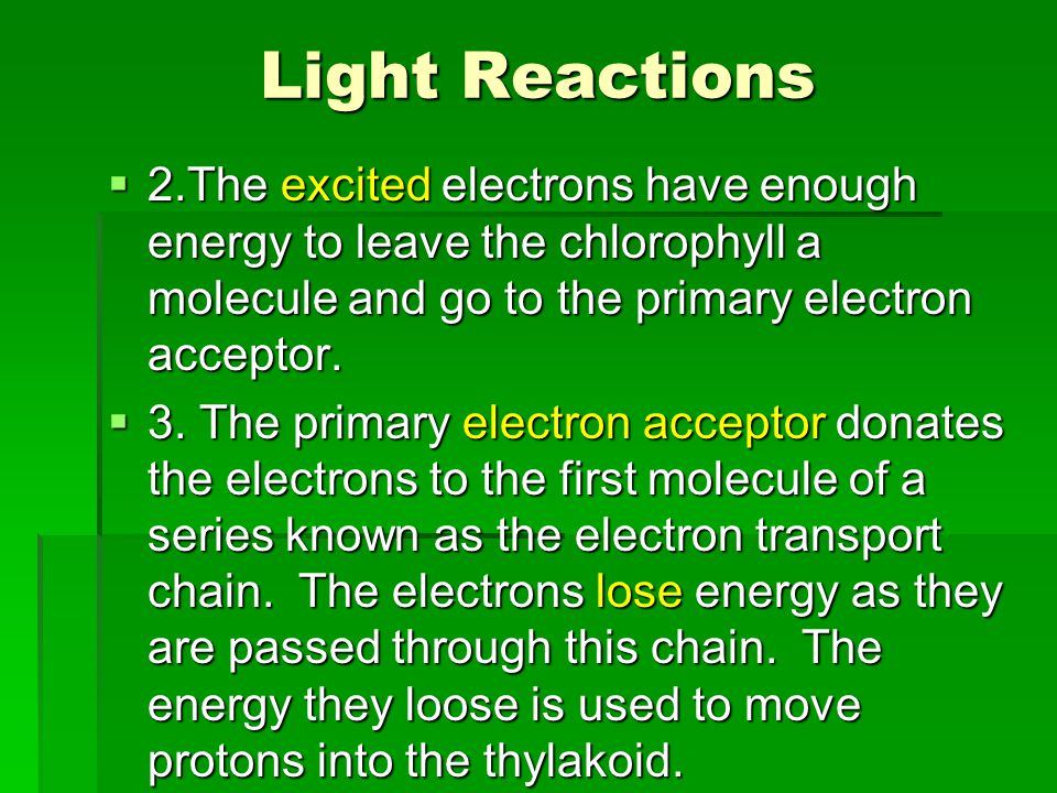 Light Reactions  2.The excited electrons have enough energy to leave the chlorophyll a molecule and go to the primary electron acceptor.  3. The pri