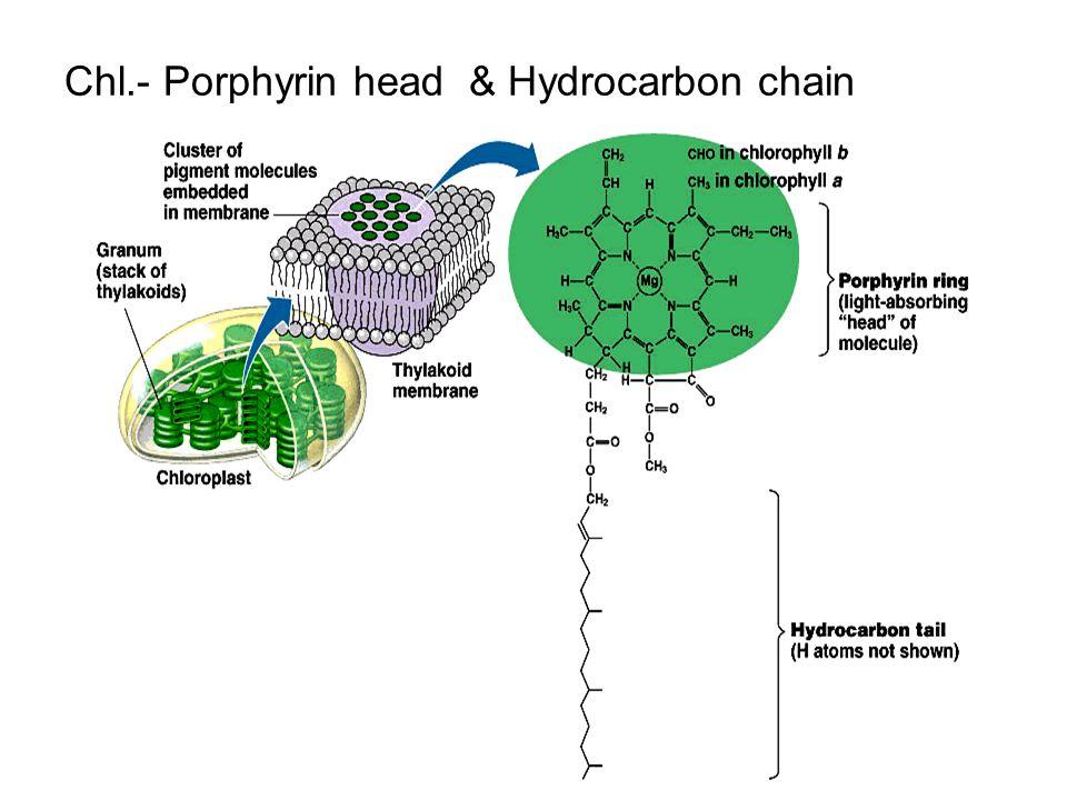 Chl.- Porphyrin head & Hydrocarbon chain