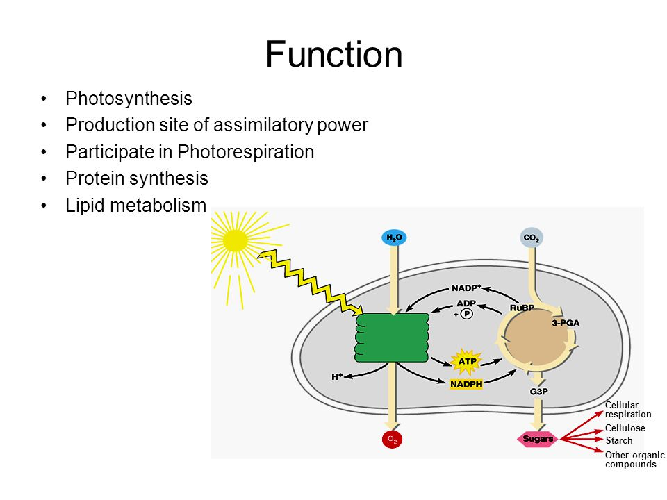 Function Photosynthesis Production site of assimilatory power Participate in Photorespiration Protein synthesis Lipid metabolism Cellular respiration
