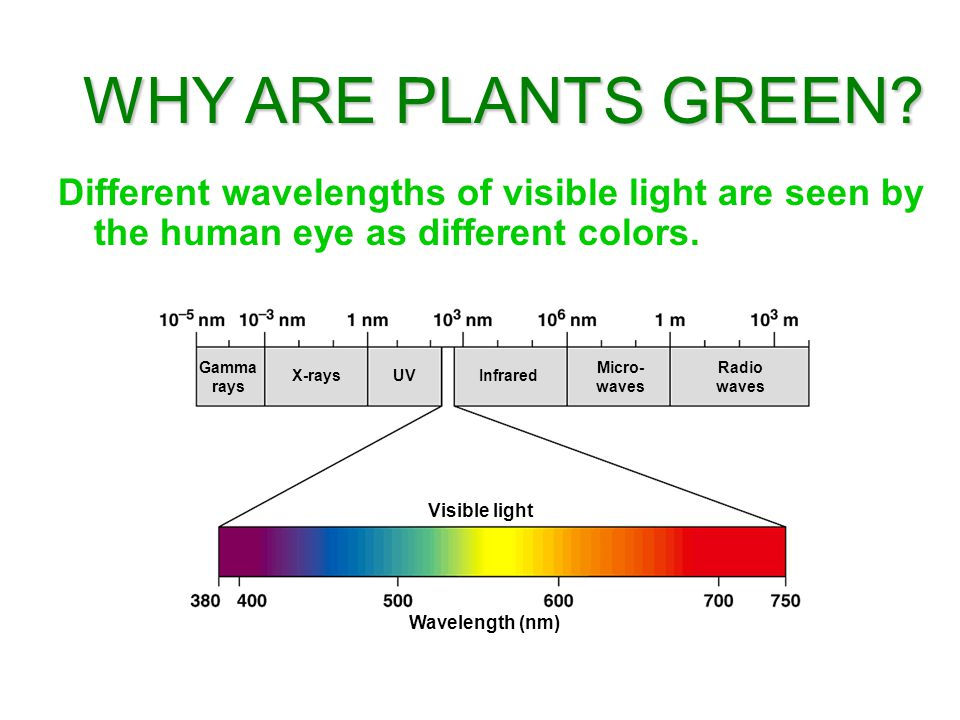 Different wavelengths of visible light are seen by the human eye as different colors. WHY ARE PLANTS GREEN? Gamma rays X-raysUVInfrared Micro- waves R