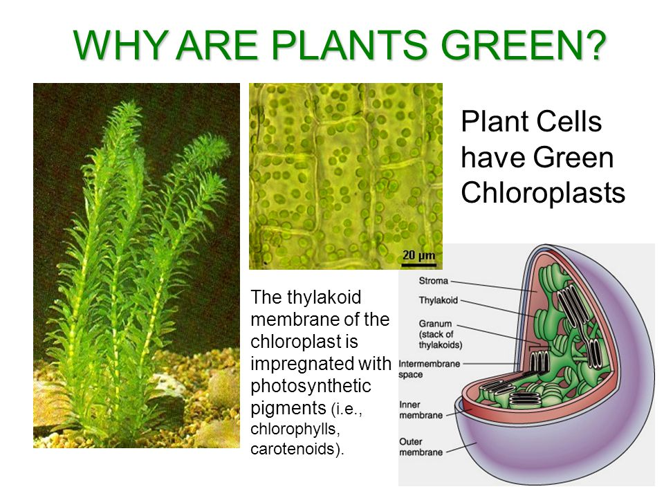 WHY ARE PLANTS GREEN.