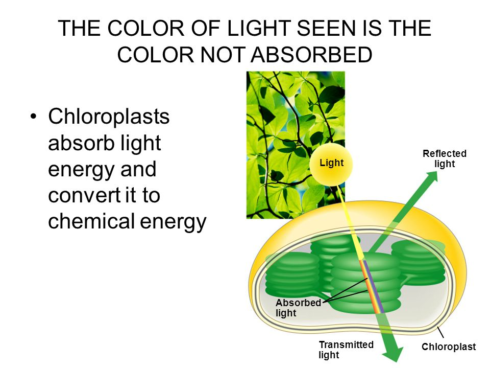 Chloroplasts absorb light energy and convert it to chemical energy Light Reflected light Absorbed light Transmitted light Chloroplast THE COLOR OF LIGHT SEEN IS THE COLOR NOT ABSORBED