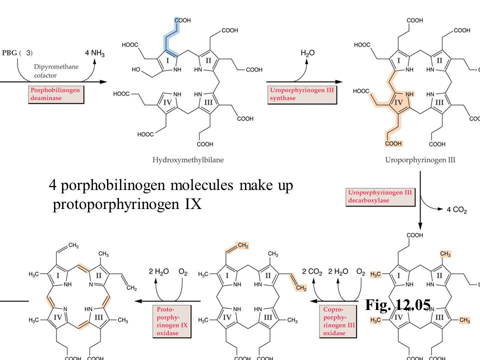 Fig. 12.05 4 porphobilinogen molecules make up protoporphyrinogen IX