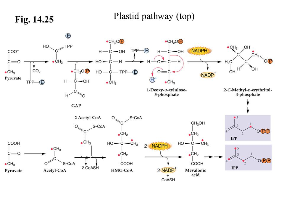 Fig. 14.25 Plastid pathway (top)