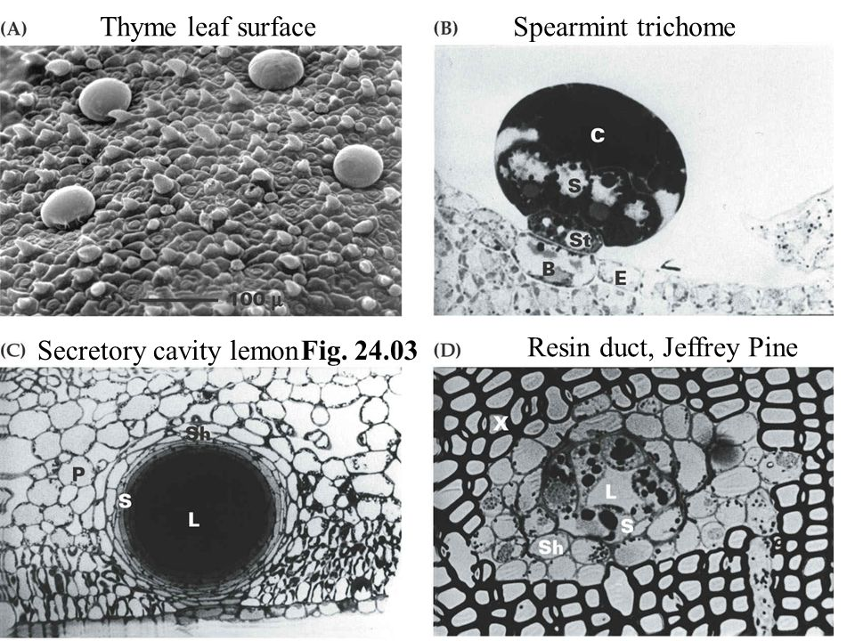 Fig. 24.03 Thyme leaf surfaceSpearmint trichome Secretory cavity lemon Resin duct, Jeffrey Pine