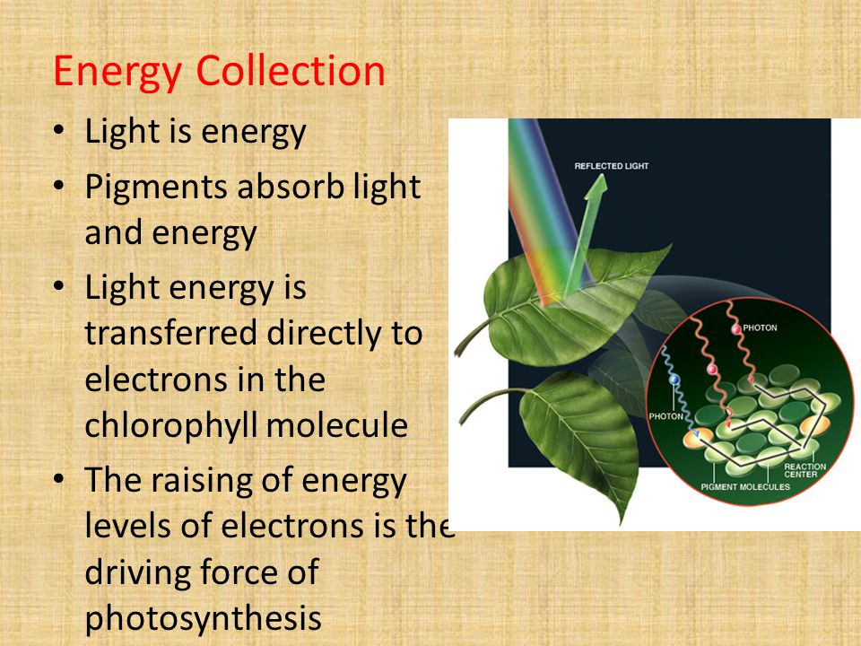 Energy Collection Light is energy Pigments absorb light and energy Light energy is transferred directly to electrons in the chlorophyll molecule The raising of energy levels of electrons is the driving force of photosynthesis