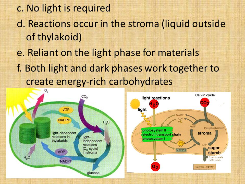 c.No light is required d. Reactions occur in the stroma (liquid outside of thylakoid) e.
