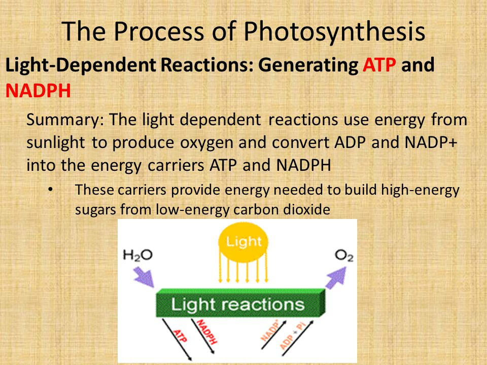 The Process of Photosynthesis Light-Dependent Reactions: Generating ATP and NADPH Summary: The light dependent reactions use energy from sunlight to produce oxygen and convert ADP and NADP+ into the energy carriers ATP and NADPH These carriers provide energy needed to build high-energy sugars from low-energy carbon dioxide
