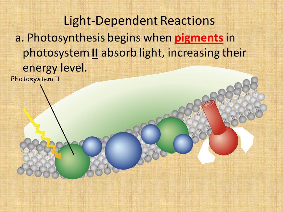 Light-Dependent Reactions a.