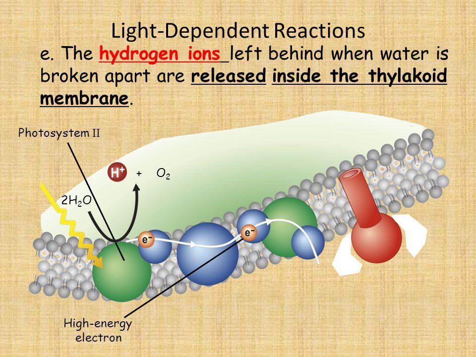 Light-Dependent Reactions Photosystem II 2H 2 O e.