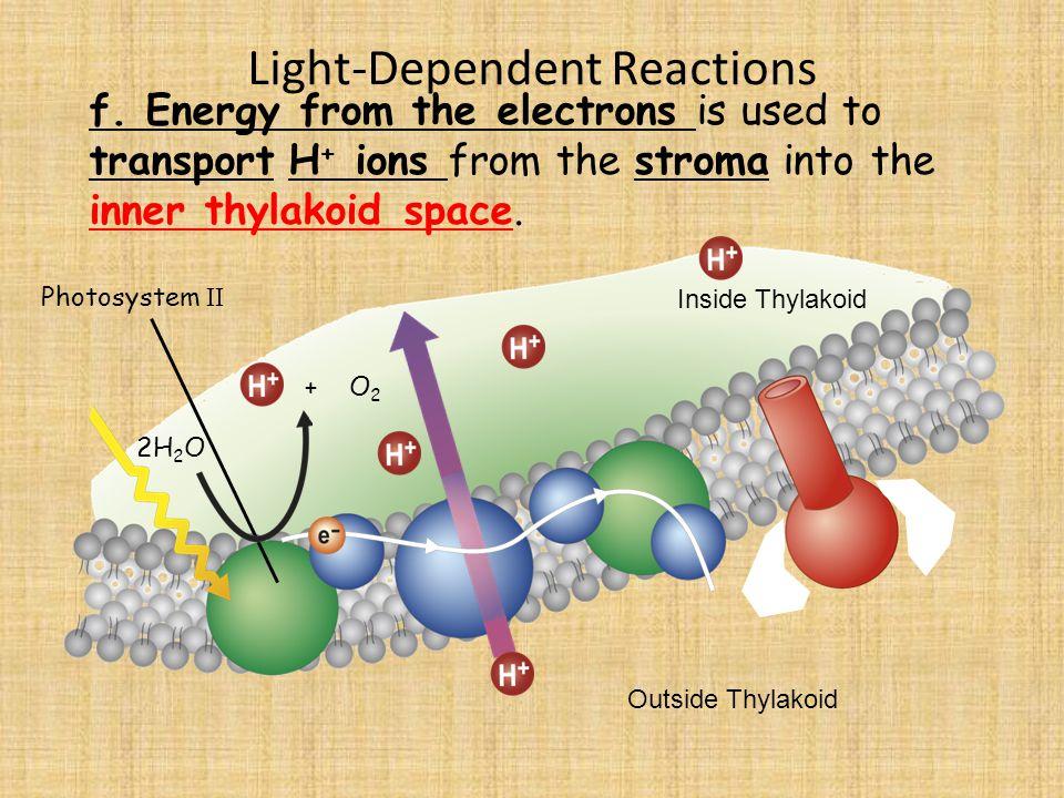 Light-Dependent Reactions Photosystem II 2H 2 O f.