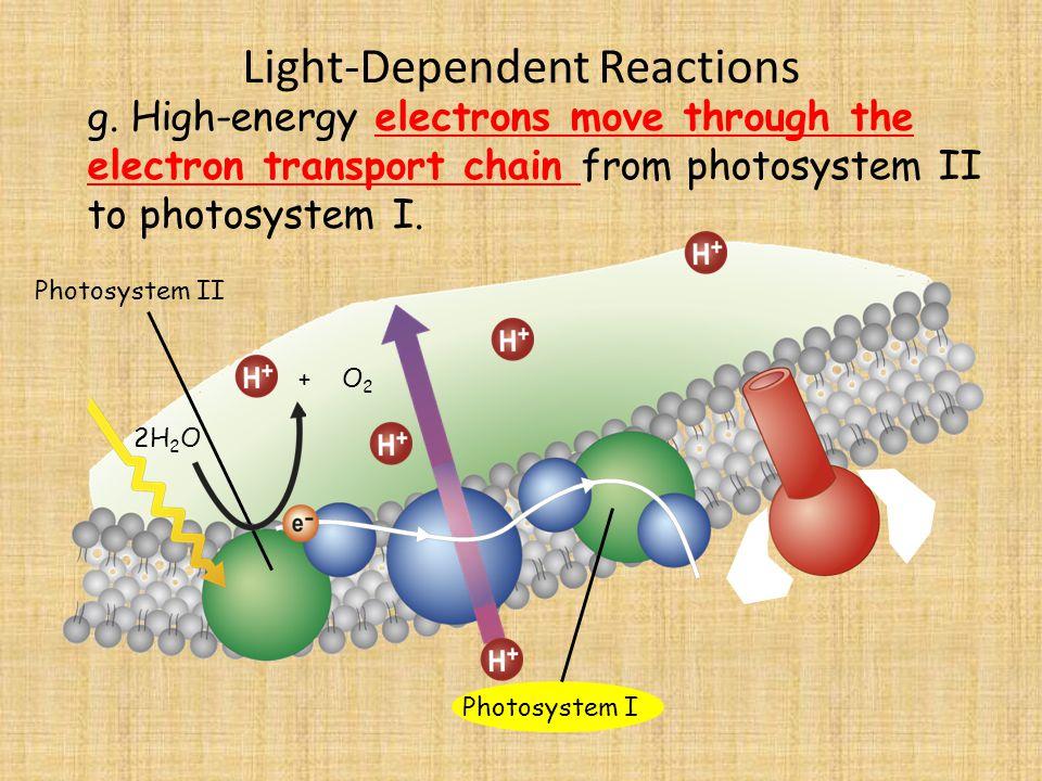 Light-Dependent Reactions Photosystem II 2H 2 O g.