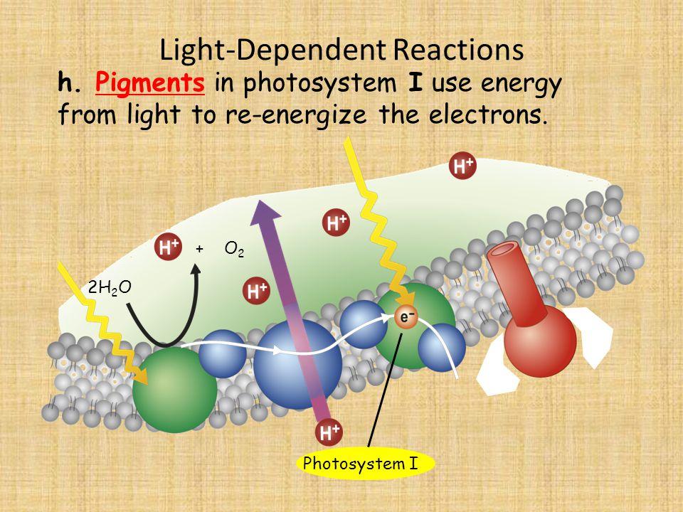 Light-Dependent Reactions 2H 2 O h.